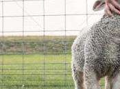 Lambing Season Fallen Stock