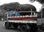 Truck Carrying Elephant Overturns Pachyderm Killed Couple Injured