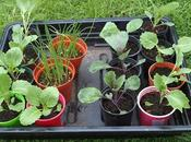 Planting Cabbages