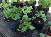 Planting Beans
