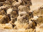 GREAT WILDEBEEST MIGRATION, Tanzania, Africa, Guest Post Owen Floody
