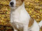 Friendly Jack Russell Terrier Dogs Incredibly Agile
