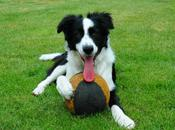 Funny Border Collie Dogs Highlight Their Impressive Intelligence