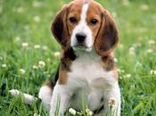 Beagle Breed Stand-out Being Incredibly Joyful Venturesome