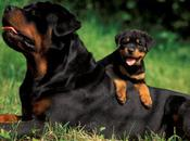 Rottweiler Breed Excellent Loyal Protectors