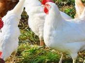 Newcastle Disease Poultry Coming