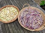 Shelling Beans Shelled.