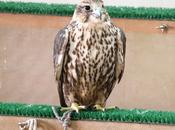 Falcons, Falconry Falcon Souq Unique Experience Doha, Qatar