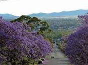 Wana Join Jacaranda Blossoms Sydney?