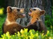 Bears Sing?
