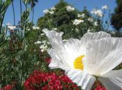 Matilija Poppies California's Giant White Tree
