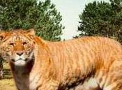 Featured Animal: Liger