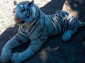 Tiger? Hampshire?
