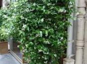 Plant Week: Trachelospermum Jasminoides
