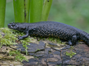Great Crested Newts: Construction Development