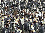 King Penguin Crèche Biggest Care Facility Planet