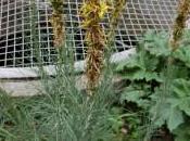 Plant Week: Asphodeline Lutea
