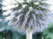 Plant Week: Echinops Ritro