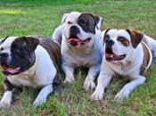 Australian Bulldog What Need Know About This Popular Types
