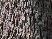 White Bark: Benefits, Dosage Side Effects