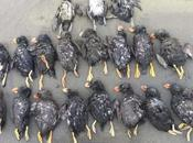 Deaths Thousands Seabirds Bering Also Linked Climate Change Scientists
