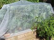 Brassica Maintenance