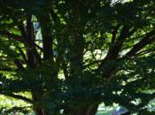 Tree Blog Beeches September 2019