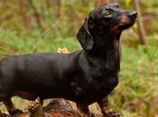 Difference Between Dachshund Mini More Than What Meets
