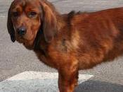 Featured Animal: Alpine Dachsbracke
