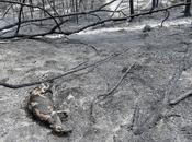 Animal Deaths Devastating Australian Wildfire Could Rise More Than Billion
