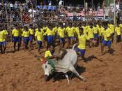 Jallikkattu When Bull Jumped Over More