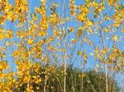 Stunning Poplar Trees Dressed Green Gold