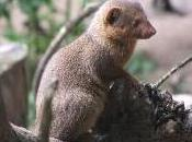 Featured Animal: Mongoose