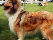 Featured Animal: Collie