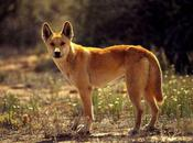 Facts Might Have Known About Dingos