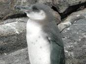 Featured Animal: Galapagos Penguin
