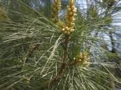 Plant Week: Pinus Strobus