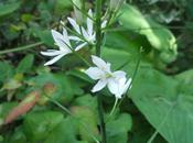 Plant Moment Star-of-Bethlehem