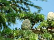 Different Types Evergreen Cedar Trees With Pictures