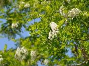 Different Types Locust Trees With Pictures