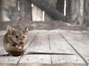 Baton Rouge Pest Control Facts Everyone Should Know About Mice
