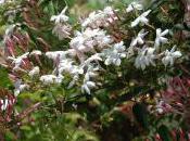 Plant Week: Jasminum Polyanthum