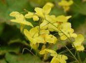 Plant Week: Epimedium Perralderianum