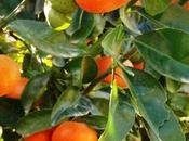 Oranges Egypt Becomes Exporter Terms Volumes
