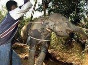 COVID-19 Killing Elephants Southeast Asia