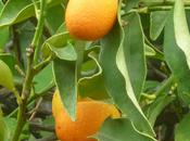 Favorite Citrus Trees.....