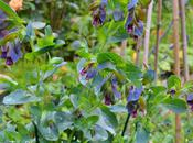 Friday Flowers: Cerinthe Major Purpurascens