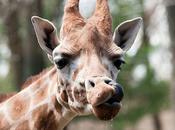 Giraffe Funny Pics
