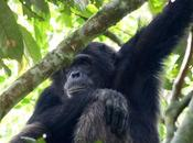 Pant Hoots Knuckle Spins Chimp Tracking Kibale Forest