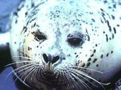 Veterinarians Give Gift Sight Blind Harbor Seal